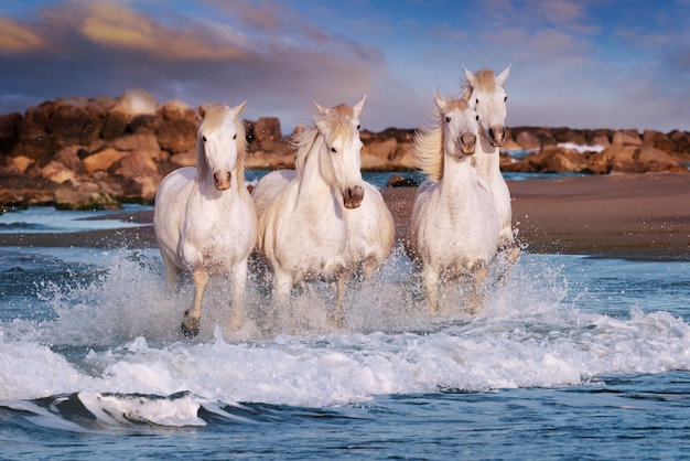 White horses are galoping in the water on the beach Premium Photo