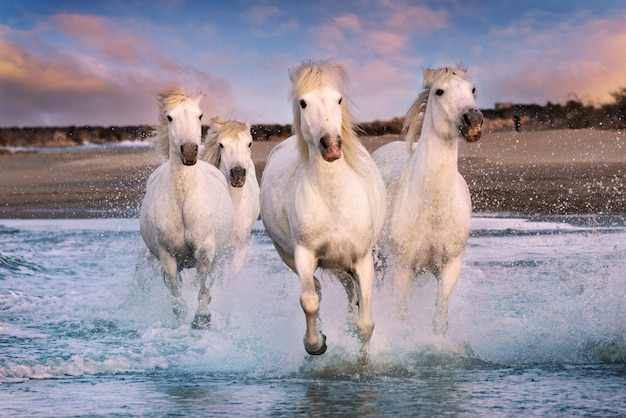 White horses in camargue, france. Premium Photo