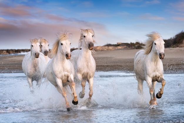White horses in camargue, france. Premium Photo