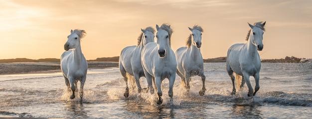Белые лошади в камарге, франция. Premium Фотографии