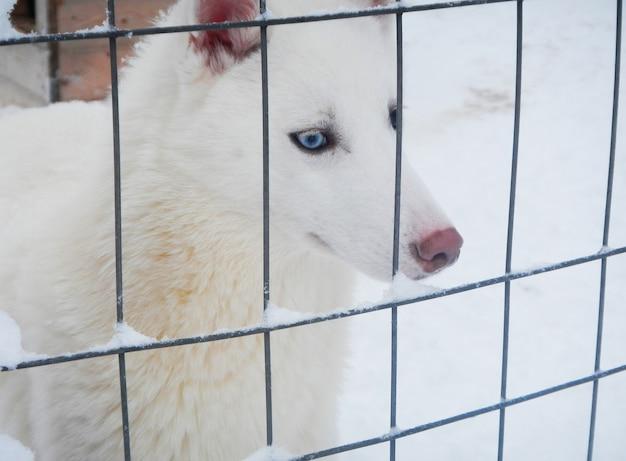 White husky on snow in winter, lapland, finland Premium Photo