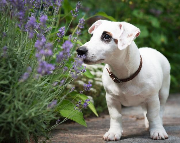 Белая собака джек рассел терьер в парке на траве Premium Фотографии