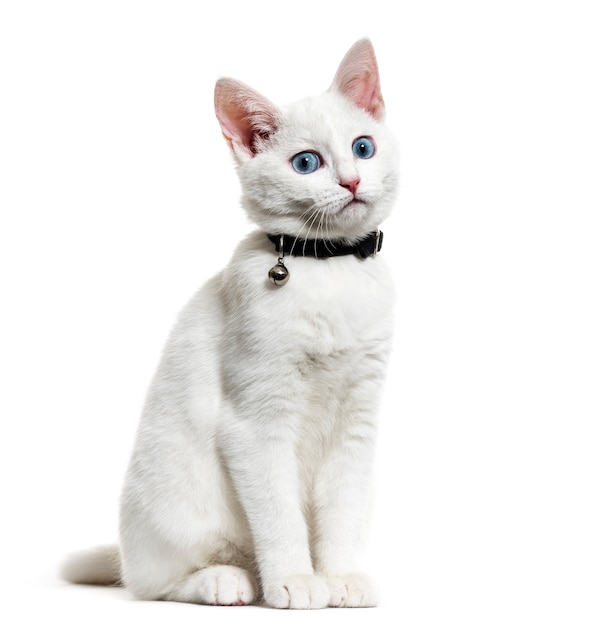 White kitten mixed-breed cat wearing a bell collar Premium Photo