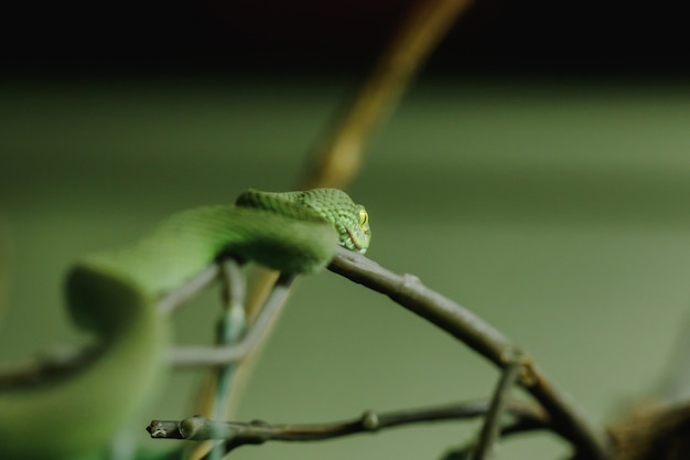 White-lipped pitviper is a snake that looks for nocturnal activity on the ground. often live in trees Premium Photo