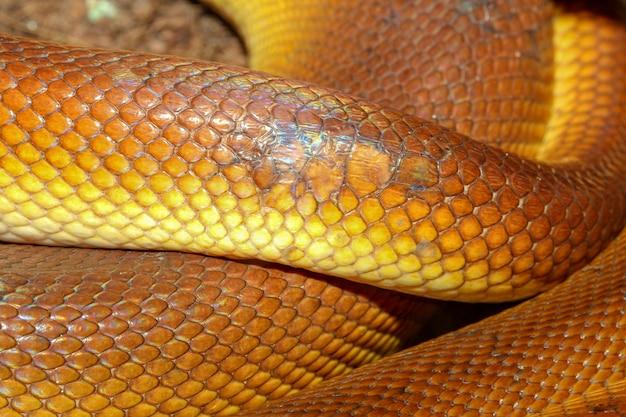 White-lipped python snake skin Premium Photo