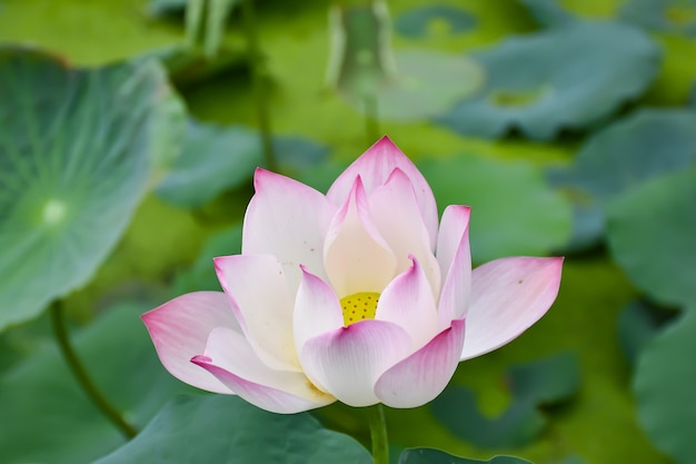 White lotus flower in the lotus pond at the samut songkhram white lotus flower in the lotus pond at the samut songkhram thailand premium photo mightylinksfo