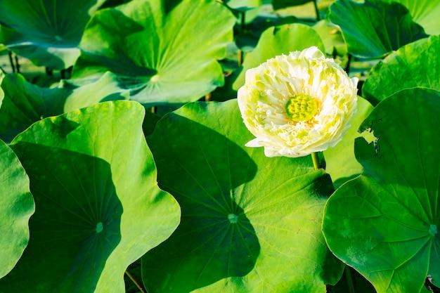 White lotus flower with green leaves photo premium download white lotus flower with green leaves premium photo mightylinksfo