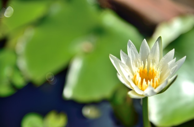 White Lotus Flowers In Nature On Black Background Photo Premium
