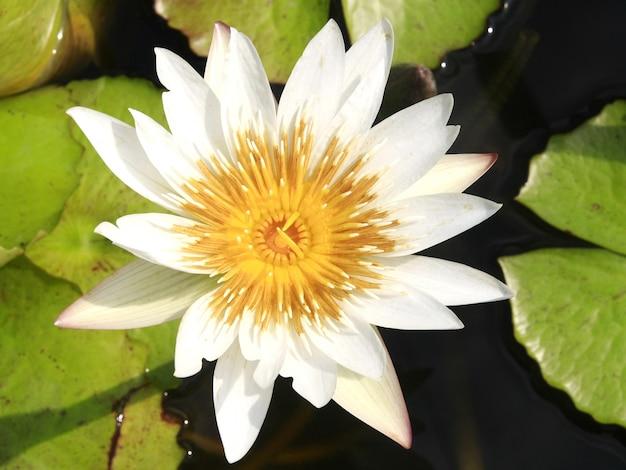 White lotus on the water Premium Photo