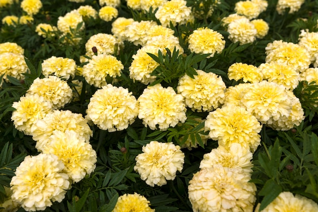 White marigolds on the flower bed. large meadow with flowers. Premium Photo