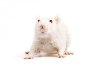white mouse photo free download