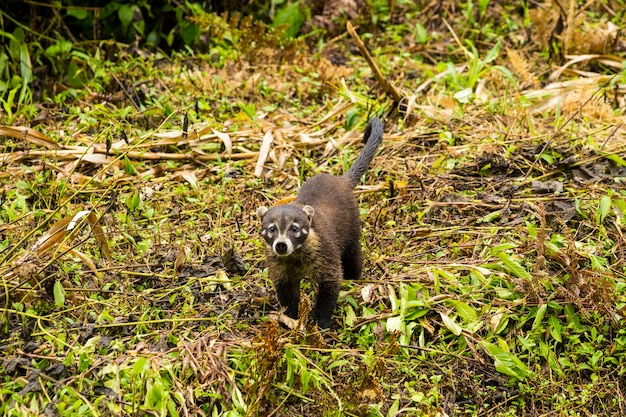 White-nosed coati in rainforest looking at camera Free Photo