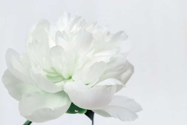 White peony. blooming flower of peony. natural flowery background with copy space.  soft selective focus. Premium Photo
