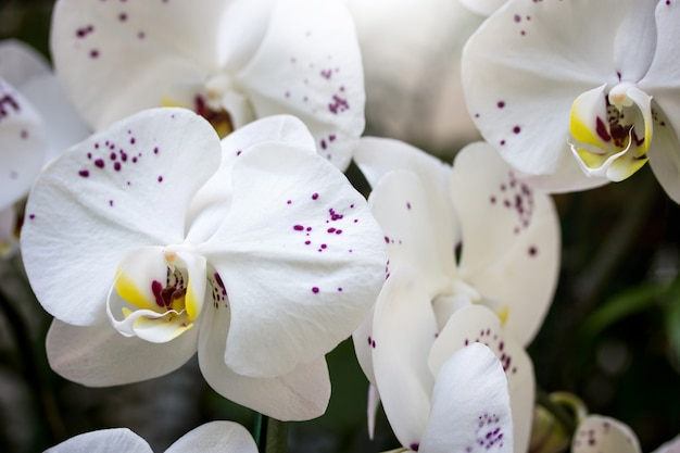 White phalaenopsis orchid flower Premium Photo