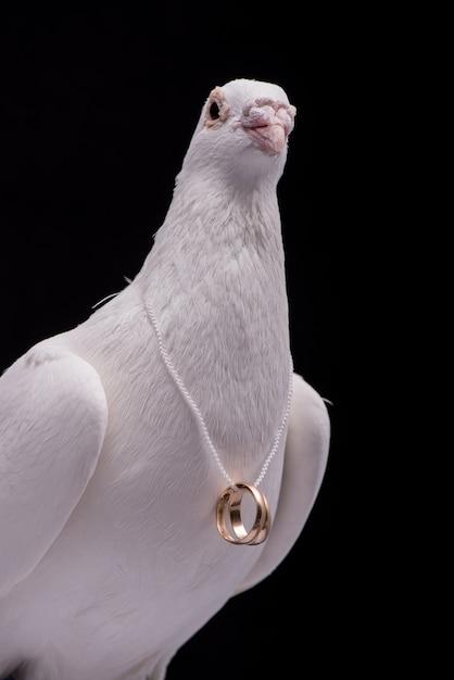 Белый голубь с обручальными кольцами на шее, изолированной в черной стене. Premium Фотографии