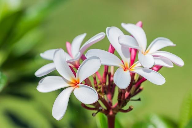 White , pink and yellow plumeria spp. Premium Photo
