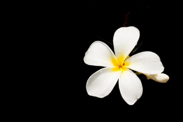 White plumeria spp. (frangipani flowers, frangipani, pagoda tree or temple tree) isolate on black. Premium Photo