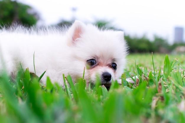 White Pomeranian Dog Sitting On The Grass Photo Premium Download
