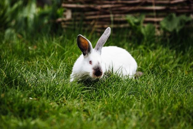 草の上の白いウサギ Premium写真
