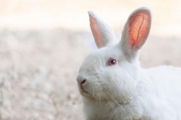 屋外の白うさぎ。農場でうさぎのうさぎを閉じます。うさぎはleporidae科の小さな哺乳類です。 Premium写真