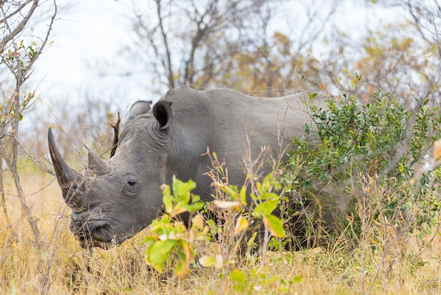 White rhino close up and portrait with details of the horns Premium Photo