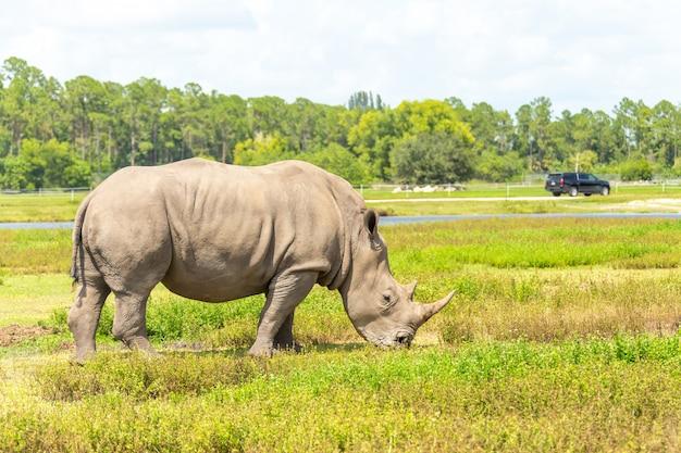 Белый носорог, носорог, гуляющая зеленая трава Premium Фотографии