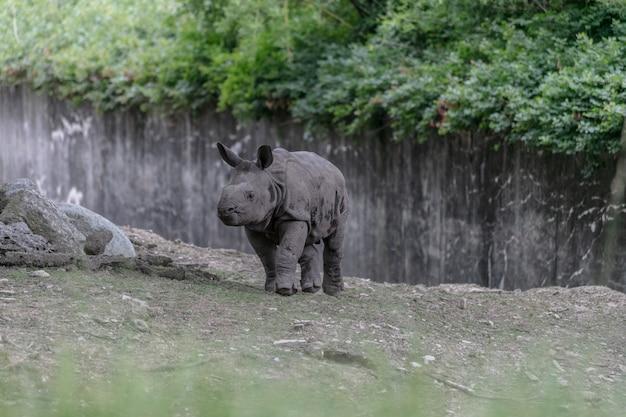 木製のフェンスと緑に囲まれた動物園を走るシロサイ 無料写真