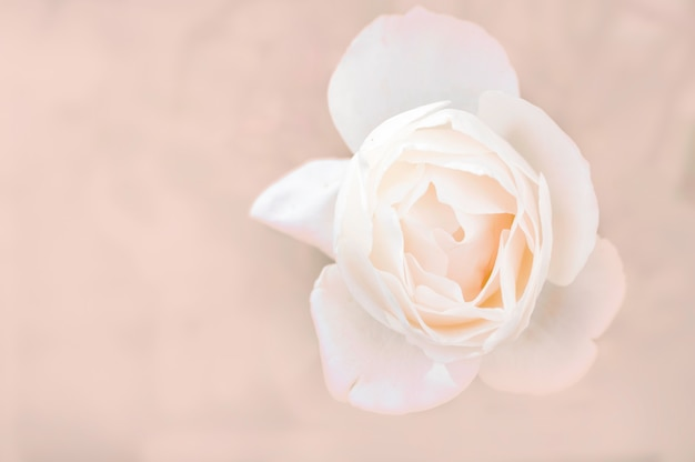 White rose close-up can use as wedding background. soft blur focus. Premium Photo