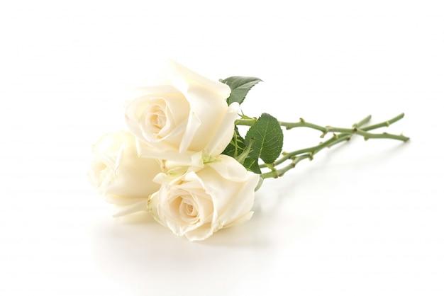하얀 장미 무료 사진