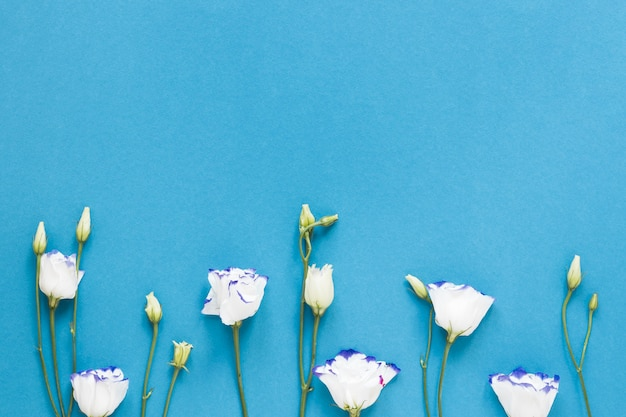 White roses on blue background with copy space Free Photo