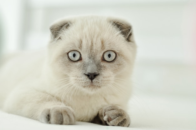 White Scottish Fold Domestic Cat Lying In Bed Beautiful White Kitten Portrait Of Scottish Kitten With