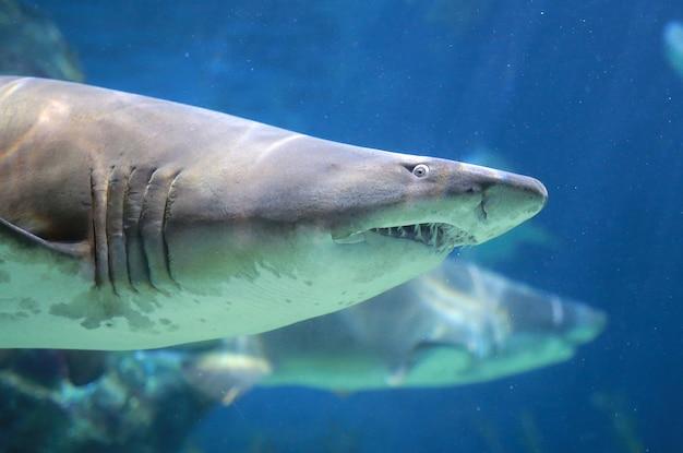 White shark underwater Premium Photo