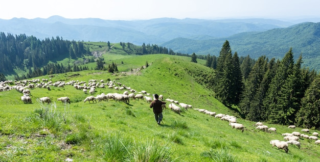 White sheeps on the green valleys of carpathian mountains Premium Photo