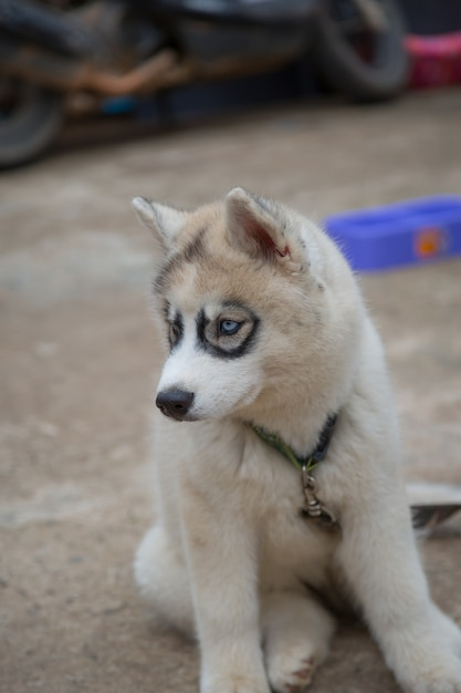 White Siberian Husky Puppy Looking For Food Photo Premium Download