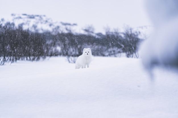 昼間は雪に覆われた地面に白い雪に覆われた白い犬 無料写真