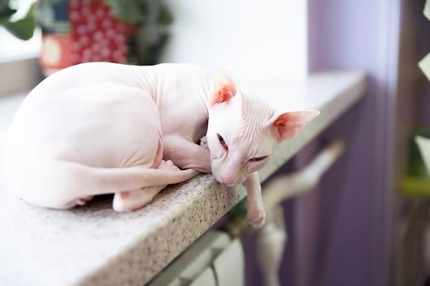 窓辺に敷設白いスフィンクス猫 Premium写真