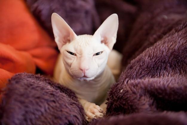 紫のふわふわ毛布に白いスフィンクス猫の肖像画 Premium写真
