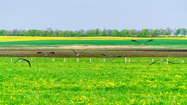 White storks flying from a green field Premium Photo