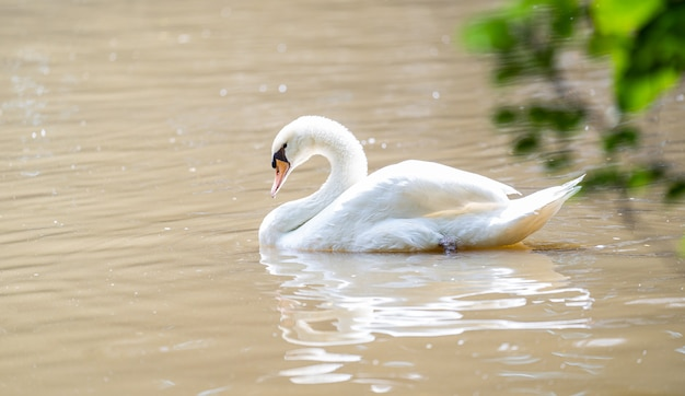 White swan floating on the lake Premium Photo