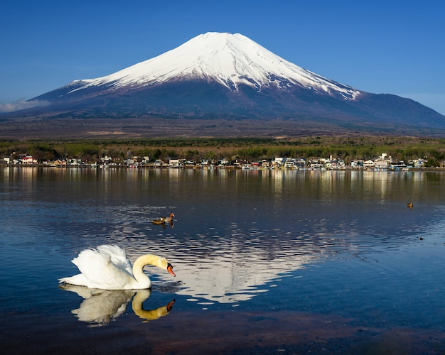 White swan look for food with mount fuji Premium Photo