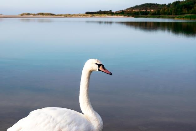 青い穏やかな湖の背景に白い白鳥、側面図 Premium写真