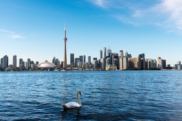 Белый лебедь плавает в озере онтарио на фоне горизонта торонто Premium Фотографии