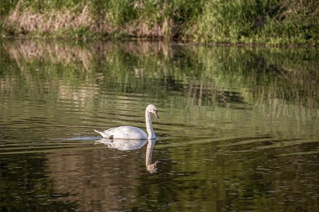 反射のある湖で泳ぐ白い白鳥 無料写真