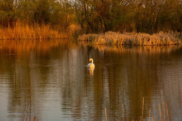 White swan on vacaresti natural park, bucharest danube Premium Photo