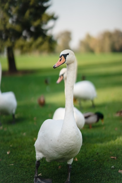 公園の緑の芝生で休んでいる白い白鳥。 無料写真