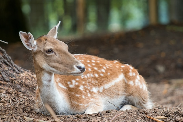 White-tailed deer resting in the forest Free Photo