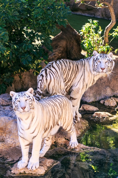 Белые тигры в зоопарке испании Premium Фотографии