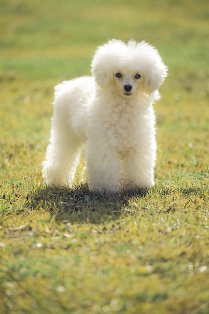 White toy poodle looking at the camera on grass at sunset Premium Photo