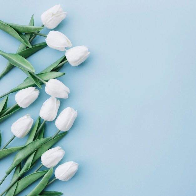 White tulips on pastel blue background with space on the right side Free Photo