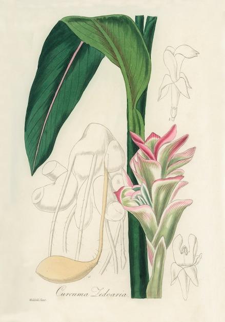 White turmeric (curcuma zedoaria) illustration from medical botany (1836) Free Photo